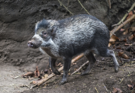 omnivores: Visayan warty pig -  a critically endangered species of pig