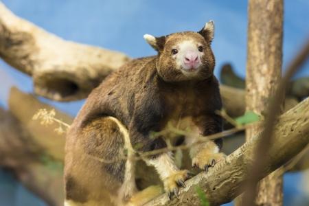 Close-up shot of a cute tree kangaroo Stock Photo