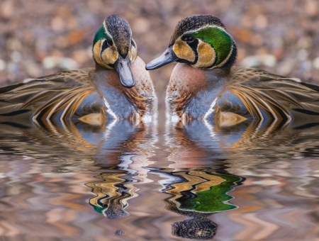 squawk: The Baikal Teal (Anas formosa), also called the Bimaculate Duck or Squawk Duck