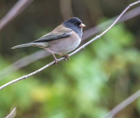 Dark eyed junco bird perched on the tree branch Stock Photo