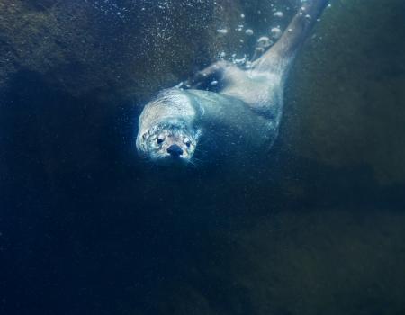sea otter: Otter undet water - close-up shot