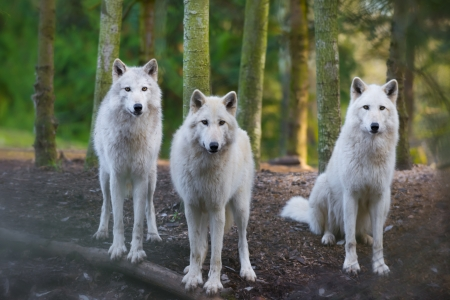 gray wolf: Three beautiful white wolfs looking directly into the camera