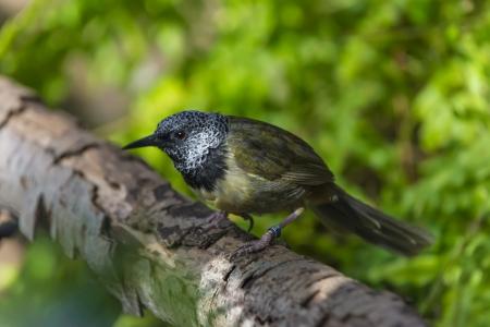 oriole: Oriole Warbler Bird close-up shot.