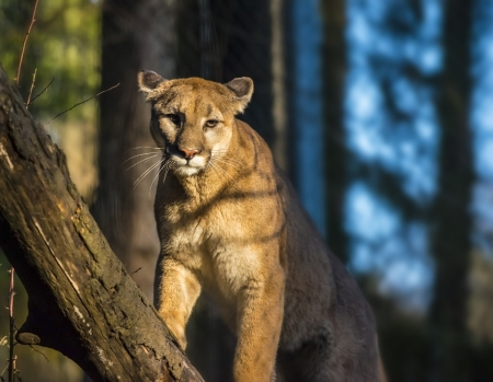 cougar: Beautiful Adult Mountain Lion close-up portrait