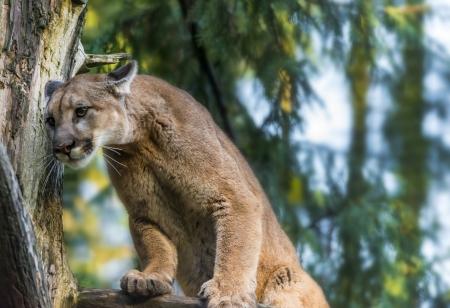 Beautiful Adult Mountain Lion close-up portrait