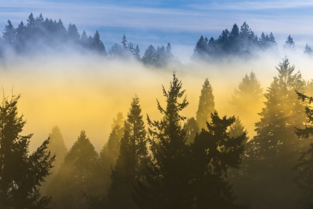 pine tree: Fog covered trees in the valley with bright blue sky