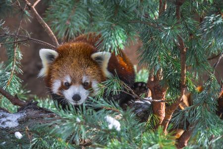 catlike:  red panda - Ailurus fulgens, also called lesser panda and red cat-bear
