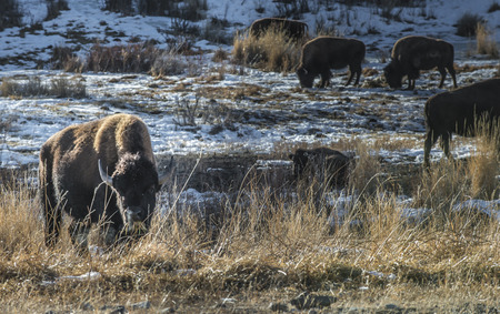 Bison in winter Yellowstone National Park Wyoming photo
