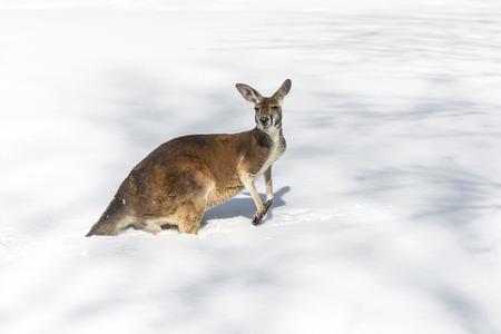 kangaroo: Confused young Kangaroo playing on the snow