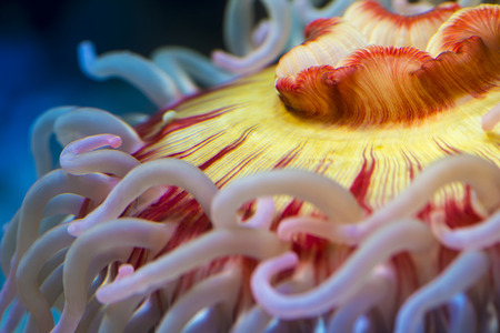 pink anemonefish: Fish eating anemone - Urticina piscivora clos-up shot Stock Photo