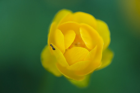 palustris: Little ant on a Yellow Kingcup flower against green bright background close-up