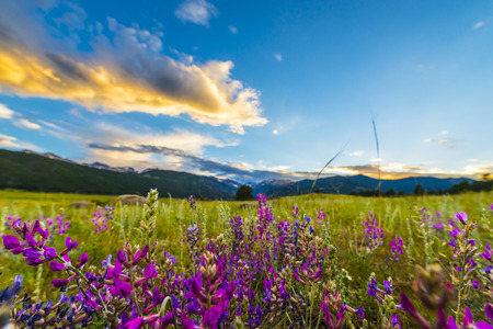 purpule: Indian Paintbrush flowers at sunset in Moraine Park- Rocky Mountain Colorado  Stock Photo