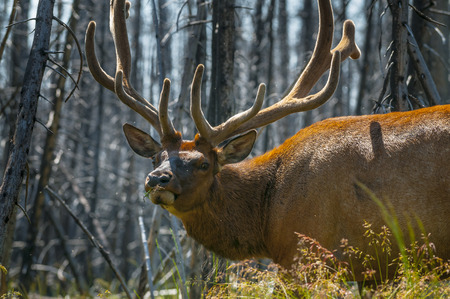 Adult Elk Close-up Yellowstone National Park photo