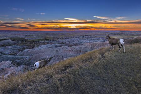 bighorn sheep: Pecore Bighorn al tramonto Badlands National Park