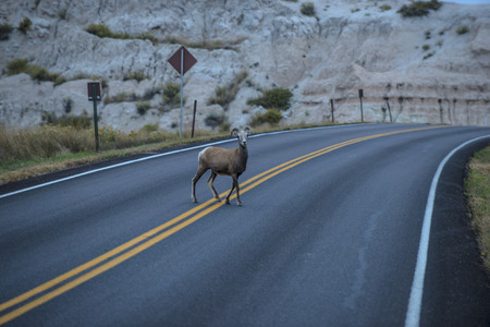 Badlands Bighorn Sheep Crossing the Road in the park photo