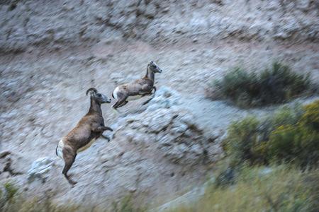 bighorn sheep: Adulti con Giovane Bighorn Sheep in esecuzione su per la collina