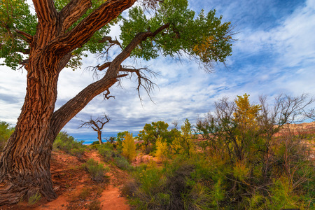 cottonwood tree: Tall colorful tree in the peak of the fall Utah landscape Stock Photo