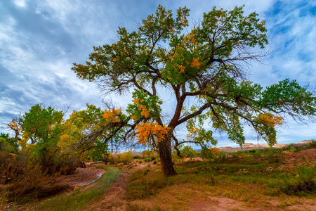 cottonwood canyon: Tall colorful tree in the peak of the fall Utah landscape Stock Photo