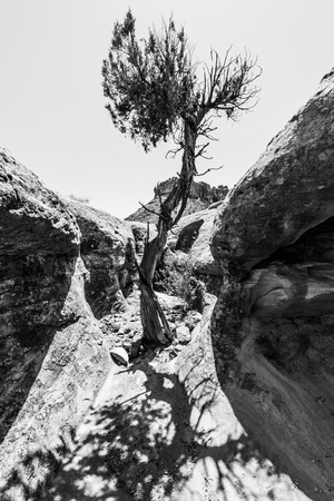 rocky mountain juniper: Single Tree in the Slot Canyon Black and White Photography Utah