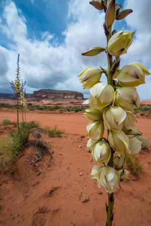 yucca: Desert Flora Yucca Plant Blossom Escalante National Park Utah Landscape Stock Photo