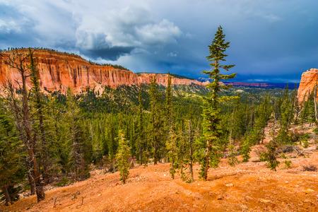 ponderosa pine: Ponderosa Pine Trees Bryce Canyon National Park
