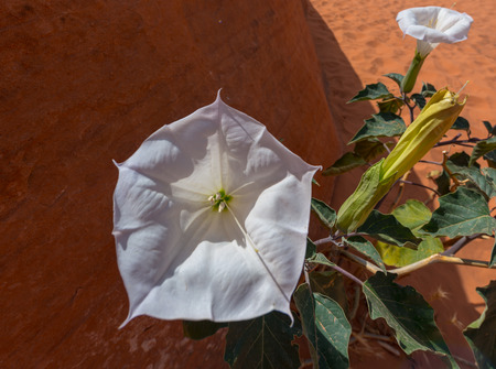 hallucinogen: Sacred Datura flower in the wild also known as: Western Jimsom Weed,Nightshade, indian whiskey