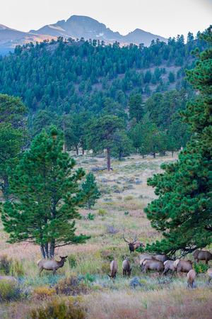 longs peak: Elk Migration Rocky Mountain National Park  with longs peak in the background