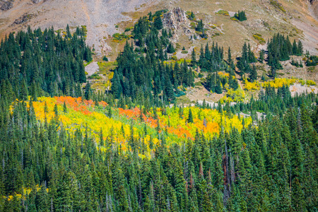 colorado rockies: Heart Shaped October Foliage surrounded by green pine trees Colorado Rockies