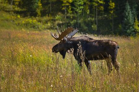 conundrum: Adult Large Male Moose Feeding in the Meadow near Conundrum Creek Colorado Archivio Fotografico