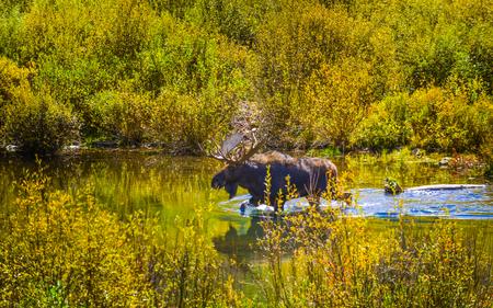 conundrum: Moose Feeding in the Conundrum Creek Colorado Archivio Fotografico
