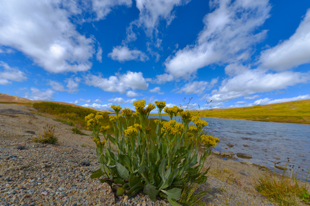 treeline: Wild flowers on top of Independence Pass Colorado