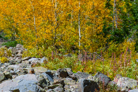 colorado landscape: Wild Marmot against Yellow Aspen Trees Fall Foliage Colorado Landscape Stock Photo