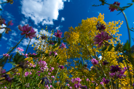 summer trees: Purple Wild Flowers and Yellow Aspen Trees from the ground up