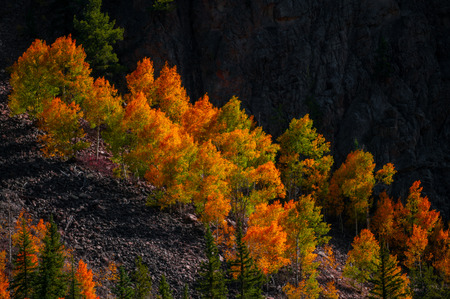 aspen leaf: Colorful Aspen high up in the Rocky Mountains Trees Peak of fall colors