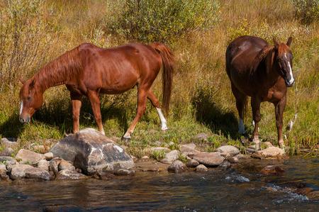 caballo bebe: Dos caballos marrones por el río, composición horizontal día soleado