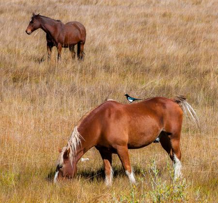 caballo bebe: Dos caballos marrones que pastan en un prado con la urraca ave en su espalda