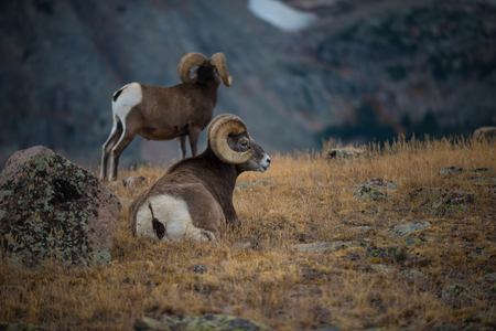 mountain peek: Couple Bighorn Rams Grazing in the Rocky Mountains Colorado Stock Photo
