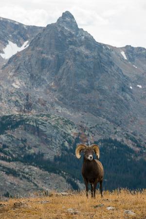 mountain peek: Wild Bighorn Sheep in the Rocky Mountain National Park Colorado Vertical Composition Stock Photo