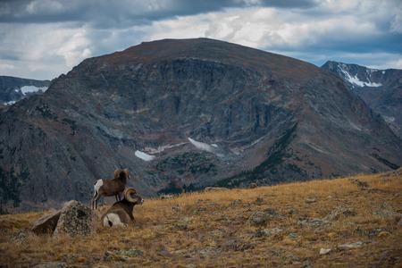 rocky mountain bighorn sheep: Couple Bighorn Rams Grazing in the Rocky Mountains Colorado Stock Photo