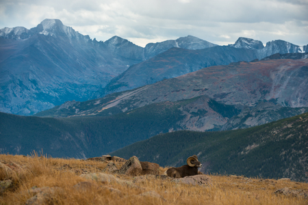 mountain peek: Bighorn Sheep  Ovis Canadensis in the Rockies Colorado Wildlife Stock Photo