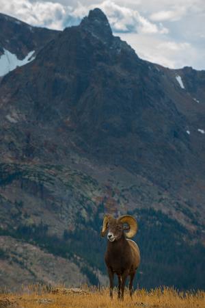 rocky mountain bighorn sheep: Wild Bighorn Sheep in the Rocky Mountain National Park Colorado Vertical Composition Stock Photo