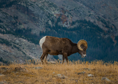 ovis: Bighorn Sheep  Ovis Canadensis in the Rockies Colorado Wildlife Stock Photo