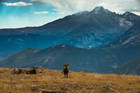 carnero: Pareja Bighorn Rams que pasta en las montañas rocosas de Colorado