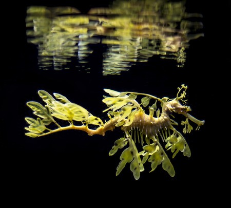 leafy: The leafy seadragon, Phycodurus eques against black bacground