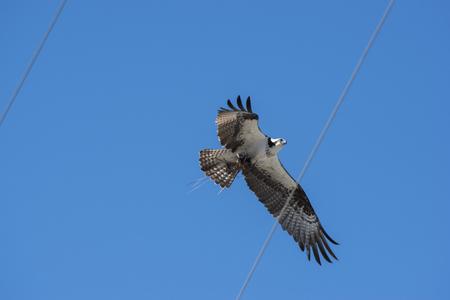 osprey bird: Osprey Bird flying over power lines