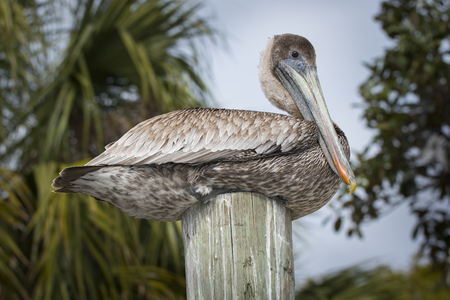 wooden post: Brown Pelican sitting on a wooden post