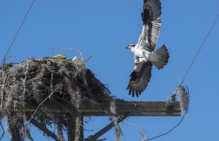 osprey bird: Osprey Bird Landing on its nest