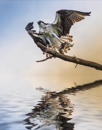 osprey bird: Osprey Bird holding a fish reflection in the water Floridas Wildlife