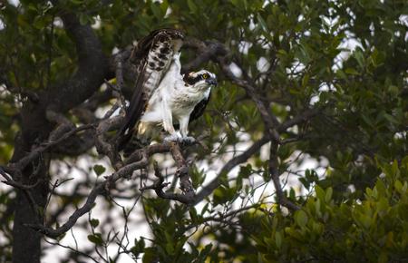 osprey bird: Osprey bird getting ready to fly Birds of Florida