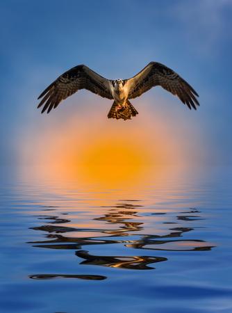 talons: Osprey Bird with fish in flight over sunset Stock Photo